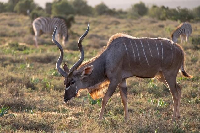 kudu_bock